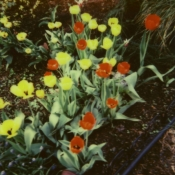tulips-small